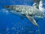 <p>Photo: Great white shark and fish</p>