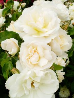 Champagne Wishes Shrub Rose from Better Homes and Gardens