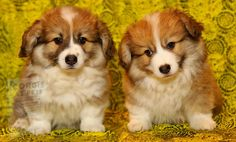 Corgi Puppies For Sale, Cute Puppies, Cute Dogs, Dog Separation Anxiety, Dog Anxiety, Anxiety Tips, Pembroke Welsh Corgi Puppies, Corgi Dog, Husky Puppy