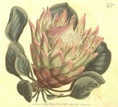 Protea botanical   BioDivLibrary, via Flickr