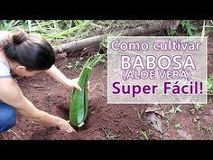 BABOSA: COMO PLANTAR COM SUCESSO - SUPER FÁCIL - Fran Adorno - YouTube