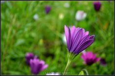 [2011 - Lisboa - Portugal] #fotografias #flor #flores #flower #flowers