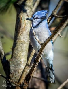 Bluejay by AnthonyLe2 Exotic Birds, Colorful Birds, Bird Pictures, Counselling, Blue Jay, Bird Feathers, Beautiful Birds, Animal Kingdom, Pet Birds