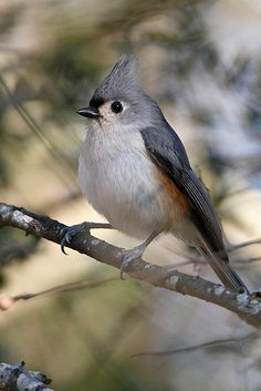 Tufted Titmouse.  Have had many at my feeders