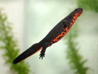 Firebellied Newt. I had 2 of these when I was younger. They were fun :)