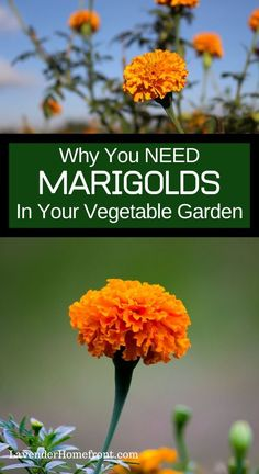 Learn the basics of companion planting and find out why marigolds make great companions in vegetable gardens beginnergardening companionplanting vegetablegarden gardeningtips gardenplanting # Garden Yard Ideas, Lawn And Garden, Garden Projects, Garden Landscaping, Garden Edging, Backyard Ideas, Garden Tools, Cute Garden Ideas, Garden Steps