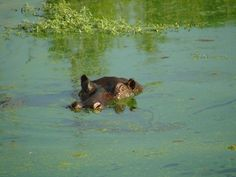Hippo in the Safari in Londolozi Game Reserve - South Africa    They are very dangerous animals with you are in the water