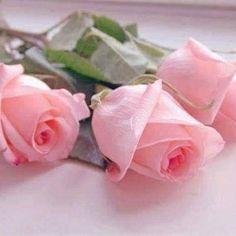 Flowers#roses.689