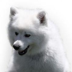 L'American Eskimo Dog è un cane da compagnia di tipo spitz, amorevole, agile e bello; di dimensione medio - piccole, sempre bianco, o bianco crema. Presente in tre dimensioni: toy, miniature e standard.