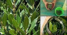 Λίγοι άνθρωποι γνωρίζουν τα πολύτιμα οφέλη που έχουν τα φύλλα δάφνης για την υγεία μας. Μπορούμε να χρησιμοποιήσουμε τα φύλλα δάφνης για να παρασκευάσουμε ένα εξαιρετικό φαρμακευτικό λάδι, το οποίο διαθέτει πολλές ευεργετικές ιδιότητες και Home Remedies, Natural Remedies, Homemade Cosmetics, Holistic Medicine, Alternative Treatments, Beauty Secrets, Aloe Vera, Health And Beauty, Herbalism