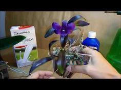 Orquídeas & Combate aos Fungos e Ácaros com LEITE!!