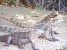 The Iguanas at La Parguera