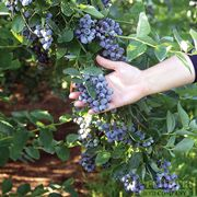 Liberty Blueberry - add these to your edible landscape.