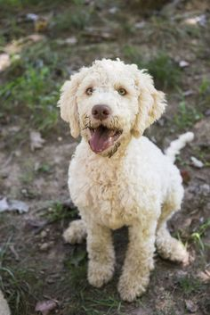 These Truffle-Hunting Puppies Will Melt Your Heart  - CountryLiving.com - Lagotto Romagnolo dogs - SQUEEE! !