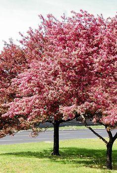 JABŁOŃ OZDOBNA 'PROFUSION' Plants, Garden Ideas, Gardens, Flowers, Plant, Landscaping Ideas, Backyard Ideas, Planets