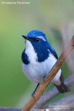 Ultramarine Flycatcher, breeds in the foothills of the Himalayas & winters in southern India By: Rakesh Dhareshwar