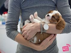 Aren't they all babies. Cavalier puppy, 7 weeks old.