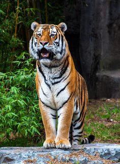 Tiger - Tri Huynh