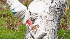 Когда лучше белить деревья в саду – осенью или весной?   В саду (Огород.ru)