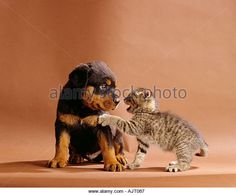 animal friendship : Rottweiler dog puppy and domestic cat kitten - Stock Image