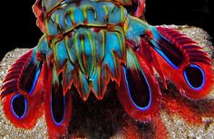 fyeah-seacreatures:    Peacock Shrimp Tail.Marylin B5