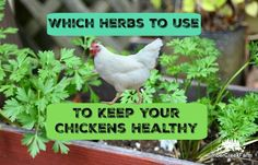 Can herbs keep chickens healthy? Does herb use increase the immune response in the flock? The answer to both questions appears to be, yes!