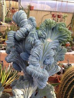 Can you believe this is a succulent?!!! The amazing crested Myrtillocactus geometrizans succulent .. now this is something very special.