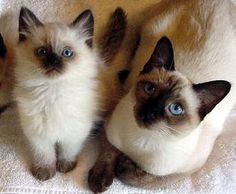 Applehead Siamese-so much cuter than regular siamese cats. I agree. My mr chow is very adorable