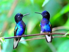 two blue hummingbirds, what are the chances of getting two of them still at the same time?