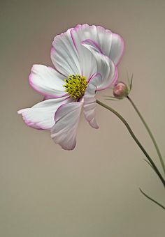"""Some of God's greatest gifts are unanswered prayers. Garth Brook, studioview: (via """"In the Sun…"""" by EbyArts Cosmos Flowers, All Flowers, Flowers Nature, Amazing Flowers, White Flowers, Paper Flowers, Beautiful Flowers, Deco Floral, Arte Floral"""