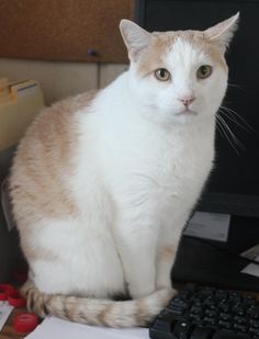 Adoptable Cat: Angel - Domestic Short Hair Mix (Spencer, IA) #cat #pets #animals #adoption #rescue