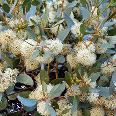 Round Leaf Moort (Eucalyptus platypus)