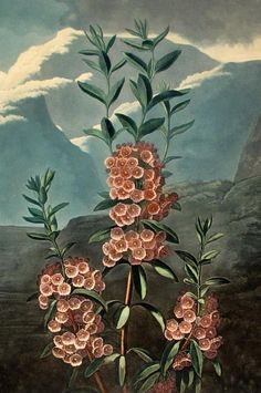 "1 piece. <br /> <b>Thornton, Robert John. Hand-Colored Botanical Engraving.</b> <br /> [<i>The Temple of Flora</i>, London, 1799-1807]: ""The Narrow-leaved Kalmia."" London, June 1, 1804. Aquatint & stipple, ptd in color & finished by hand. 19 7/8 x 14 3/4 in (507 x 372 mm); trimmed within plate mark. 1st and only state. Mtd to bd. Image clean, bright, & attractive; toning outside of image."