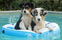 Mikei's Australian Shepherd puppies