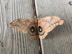 Polyphemus moth 7.1.17