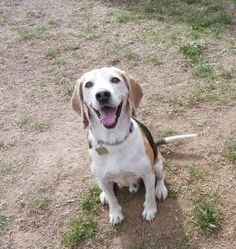 Petango.com – Meet Scooter, a 10 years 7 months Beagle available for adoption in PHOENIX, AZ