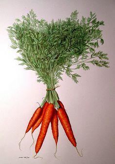 Karotten. Carrots. Carote.  W&N Watercolour on common Fabriano 4 (29 x 41 cm)