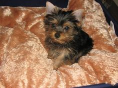images of yorkies | Dynamo Yorkshire Terriers - About Us