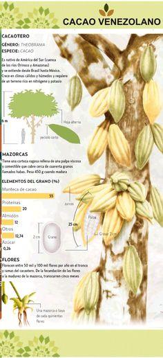 El cacao orgánico es un cultivo que puede representar una fuente de ingresos para la población campesina #BENATURAL