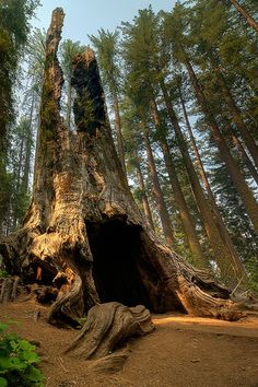 Sequoia Tree in Yosemite US National Parks