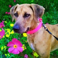 Happy Friday, everyone! Here's 8 month old Zoey from Texas! She's new to the #zymoxfamily, let's show her some love! #zoey #springflowers #zymox