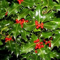 Trees Planet: Ilex aquifolium – Holly