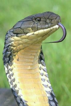 Snake Photos, Snake Venom, Beautiful Snakes, Veneno, Reptiles And Amphibians, Animals Of The World, Sea Creatures, Beautiful Creatures, Animal Photography