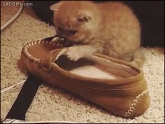 """Animated KITTEN GIF • Cute 3 weeks old Persian Kitten love her slippers. """"If it fits I sits."""""""