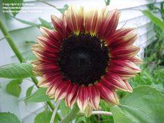 Sunflower 'Razzmatazz' (Helianthus annuus)