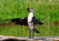 Comb Duck male