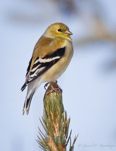 American Goldfinch (Carduelis tristis) - the winter colors we see in southern Alabama before they turn bright yellow. Voracious seed feeders - nyjer and other seeds. Bird Pictures, Birds Photos, State Birds, Kinds Of Birds, Goldfinch, Backyard Birds, Bird Watching, Yellow Finch, Yellow Birds