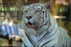 Majestic #portrait photograph of the beautiful white #tiger with blue eyes https://fliiby.com/file/hq4i41yfcrh/?utm_content=buffere6a18&utm_medium=social&utm_source=pinterest.com&utm_campaign=buffer #animal #photo