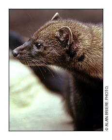 a litter of baby Maine Fisher Cats Exotic Animals