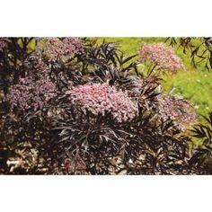 Proven Winners Black Lace ColorChoice Sambucus 1 gal. Elderberry Shrub-SAMPRC1026101 at The Home Depot, 8ft, full to prt